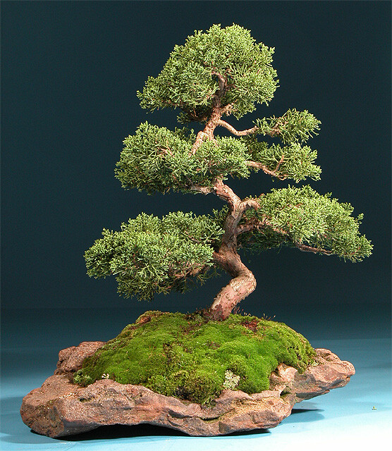 bonsai Japanese art, Bonsai Miniature Trees