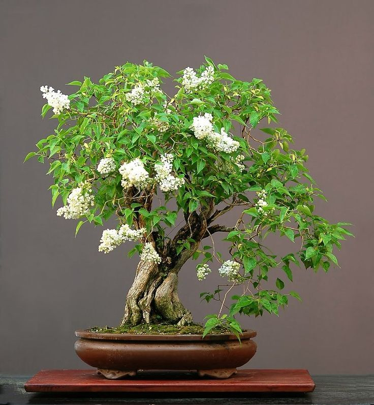 lilac, Bonsai Miniature Trees