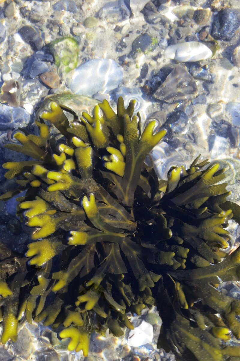 Environmentally Friendly Material Developed from Seaweed and Paper  (4)